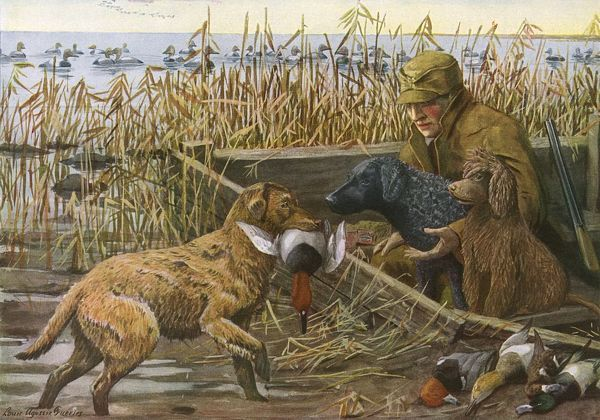 Chesapeake Retriever, Curly Coated Retriever and Irish Water Spaniel. The Chesapeake retrieves ducks in marsh land for a hunter. The black furred Curly Coated Retriever and the Irish Water Spaniel sit next to the hunter Date: 20th century