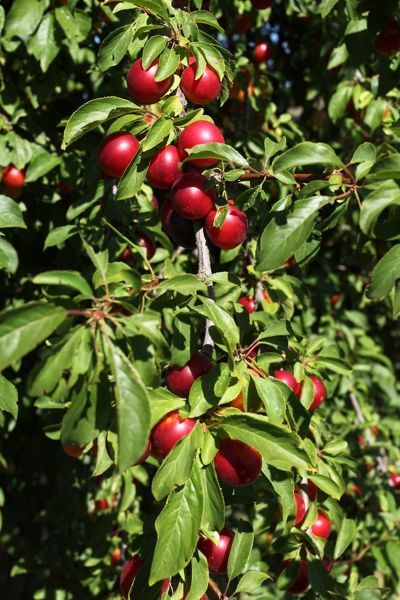 Greek Cherry Plum Or Myrobalan Plum Prunus Cerasifera 12514561