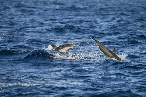 Short-beaked common dolphin (Delphinus delphis), two animals porpoising. Baja California, Mexico