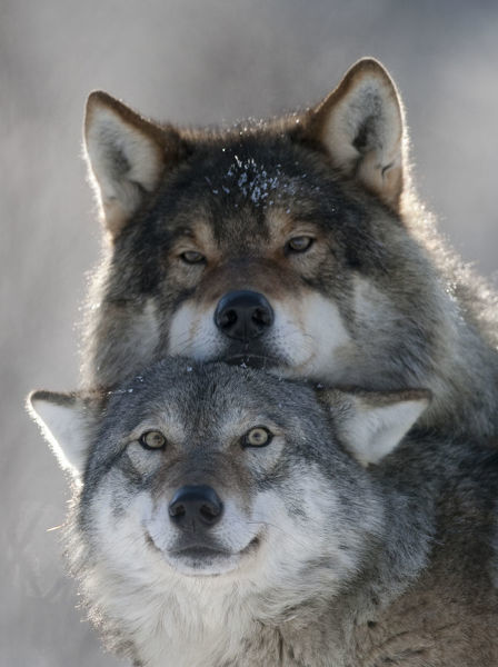 Pair of European grey wolves (Canis lupus) interacting, Tromso, Norway, captive, April
