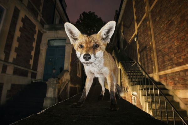 Young urban Red fox (Vulpes vulpes) standing on a wall at night. Bristol, UK, September