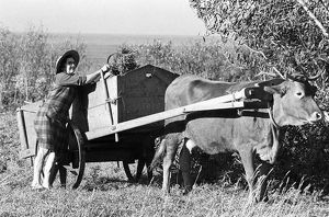 photography philip dunn/woman cow cart portugal 2