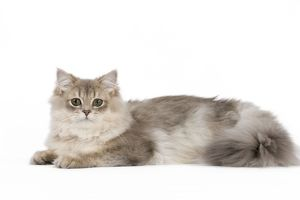 cat british longhair highland straight golden