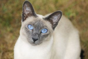 jd 21444 cat blue point siamese cat sitting grass