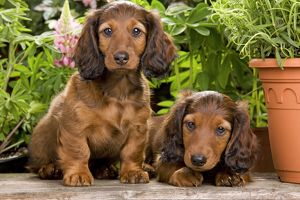 la 6009 long haired dachshund teckel dog puppies