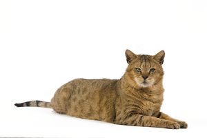 la 6114 cat chausie brown spotted tabby jungle cat