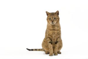 la 6117 cat chausie brown spotted tabby jungle cat