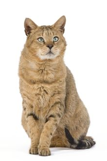 la 6121 cat chausie brown spotted tabby jungle cat