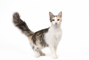 la 7968 cat turkish angora blacksilver mackerel