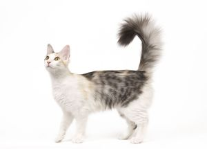 la 7969 cat turkish angora blacksilver mackerel