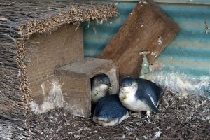 dec2014/7/little little blue fairy penguin nest box
