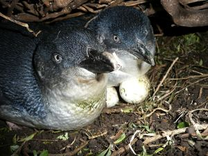 dec2014/7/little penguin incubating eggs burrow male