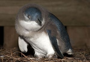 dec2014/7/little penguin nest box area down covered chick