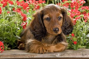 long haired dachshund teckel dog doxie doxies