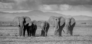 new/20191004 jai 5/black white elephants amboseli kenya