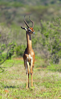 new/20191004 jai 5/gerenuk litocranius walleri samburu national