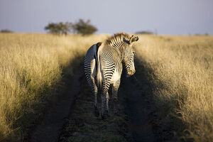 new/20191004 jai 5/grevys zebra lewa wildlife conservancy kenya