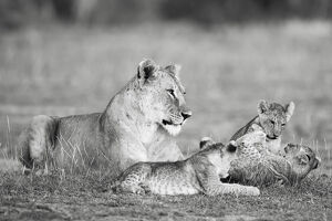 new/20191004 jai 5/lion family playing kenya