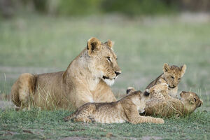 new/20191004 jai 5/lioness cubs playing amboseli kenya