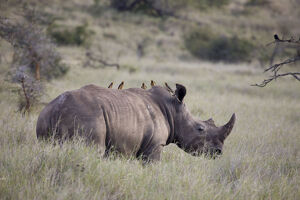 new/20191004 jai 5/white rhinoceros lewa wildlife conservancy kenya