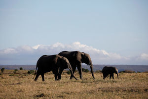 animals/elephants walk maasai mara national reserve