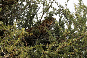 animals/leopard seen taking kill tree maasai mara national