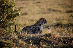 animals/leopard sits grass maasai mara national reserve