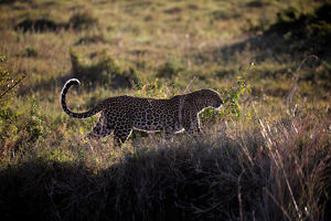 animals/leopard walks grass maasai mara national reserve