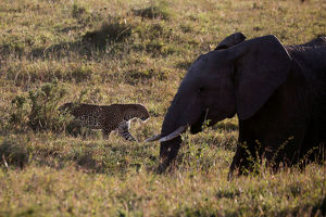 animals/leopard walks past elephant maasai mara national
