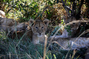 animals/lion cubs seen bush maasai mara national reser