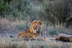 animals/male lion lays near female mating maasai mara