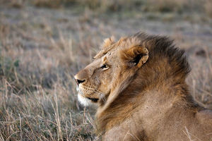 animals/male lion seen maasai mara national reserve