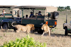animals/male lions fight tourists vehicles maasai mara
