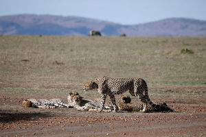 animals/pride male cheetahs seen rest maasai mara