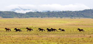 latin america/wild horses gallop plowed area amajari amazon