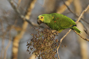 animals/blue fronted parrot eating seeds