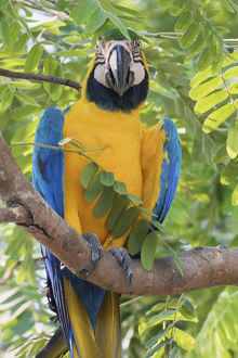 animals/blue gold macaw