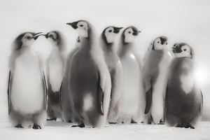 cape washington antarctica emperor penguin chicks