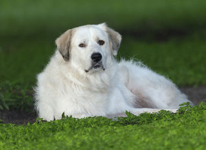 animals/great pyrenees pyrenean mountain dog