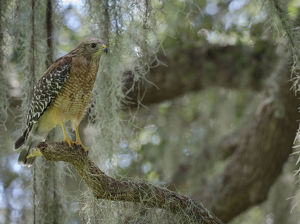 animals/red shouldered hawk buteo lineatus perched live