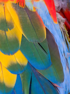 animals/usa arizona goodyear close up colorful macaw