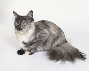 animals/length/black tortie smoke turkish angora cat amber eyes