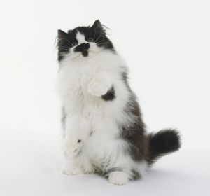 animals/black white longhaired british cat standing hind