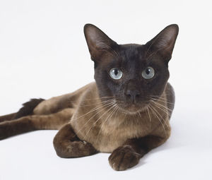 animals/brown tonkinese cat chocolate coloured tail almond shaped