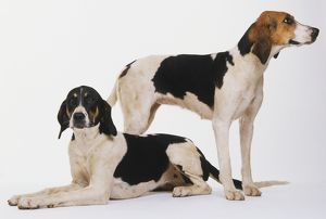 animals/black/foxhounds canis familiaris lying down head upright