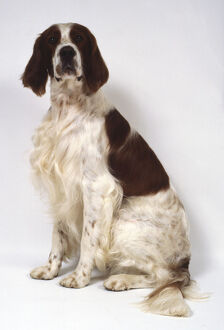 animals/pets/irish red and white setter long feathery hair