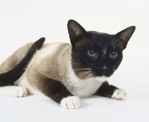 animals/length/seal white point snowshoe cat high cheekbones