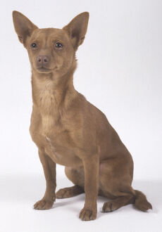 animals/small sitting portuguese podengo dog short brown