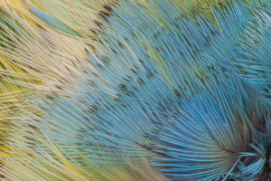 collections/gallo image collection gallo abstract art prints/extreme close up yellow headed amazon parrotamazona