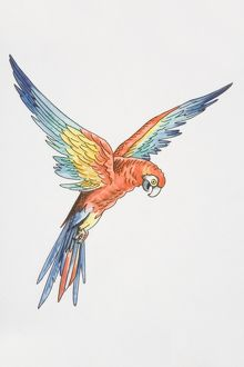 collections/dorling kindersley prints/illustration scarlet macaw ara macao wings